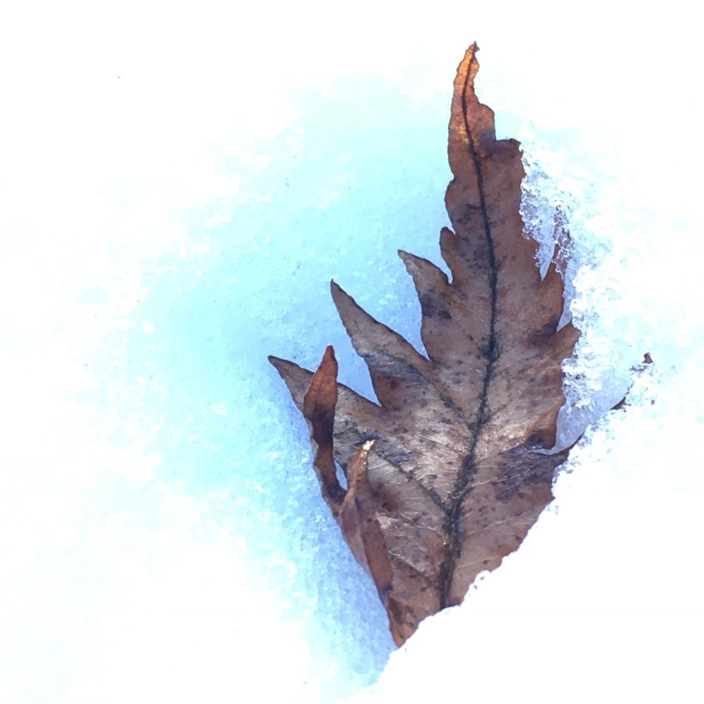Cut leaved Beech Leaf
